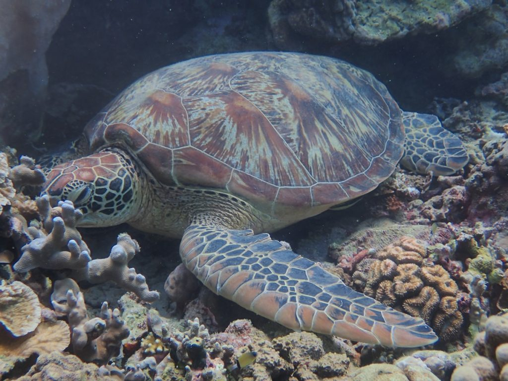 moalboal sea turtle